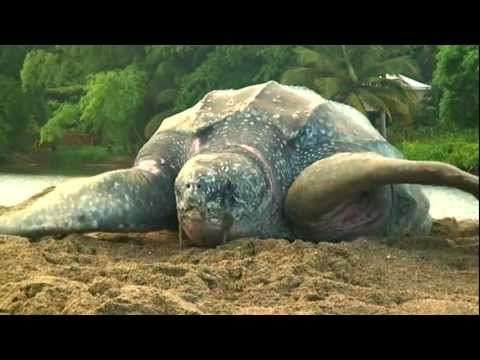 Life Cycle of A Sea Turtle — SEE Turtles - wonderful video talking about the life cycle of the sea turtle