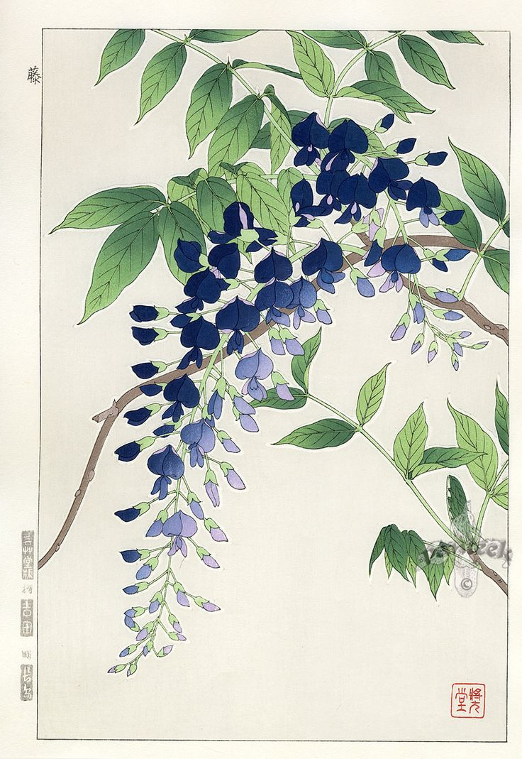 Shodo Kawarazaki, Wisteria #brushpainting #fineline #Ink and Wash Painting #Chinese Art #Japanese Art