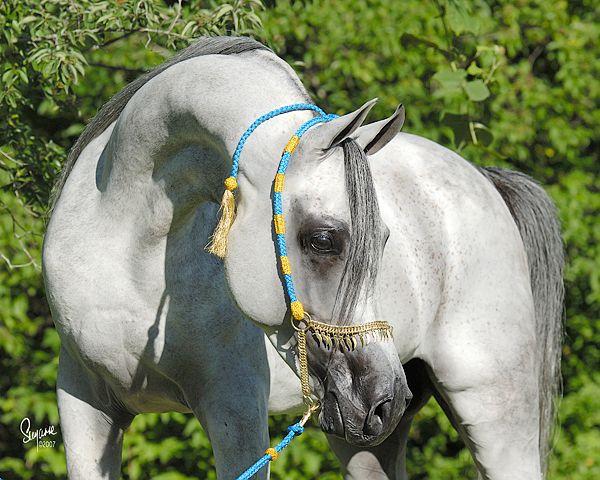 SOUDAN AL BADI (Mahknificient KA x Shwaya [x Shaikh Al Badi]) '02 grey stallion - Kuhaylan Rodan Strain