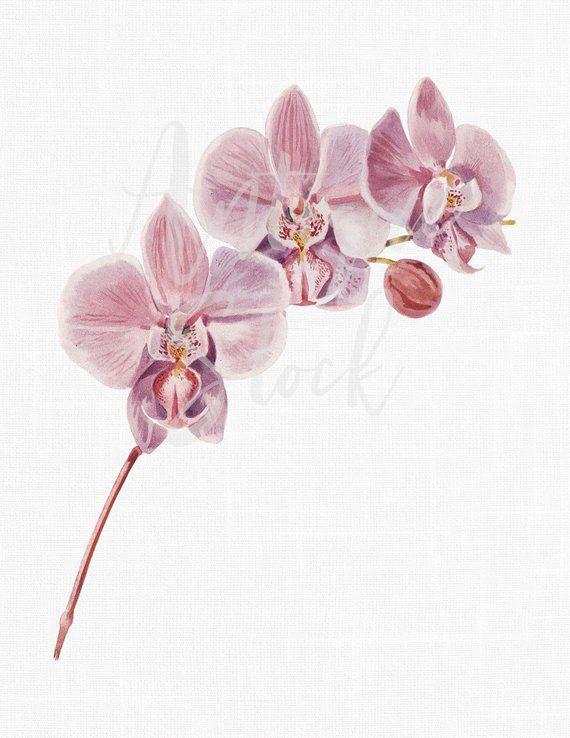 Orchid Flower Clipart Pink Phalaenopsis Digital Download Botanical Illustration Printable Art For Scrapbooking Botanical Illustration Flower Clipart Clip Art