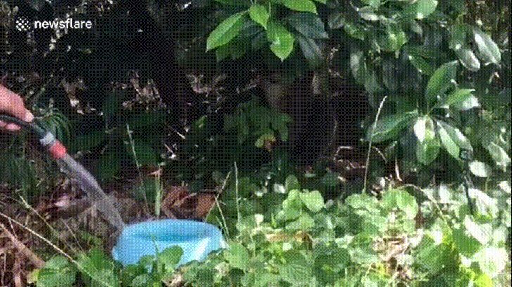 Homeowner gives thirsty koala a drink during heatwave https://i.imgur.com/UC1CrRp.gifv