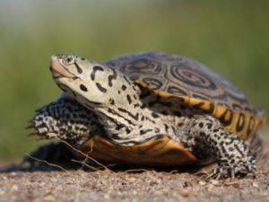 Diamondback Terrapin Facts, Adaptations, Habitat, Diet, Size