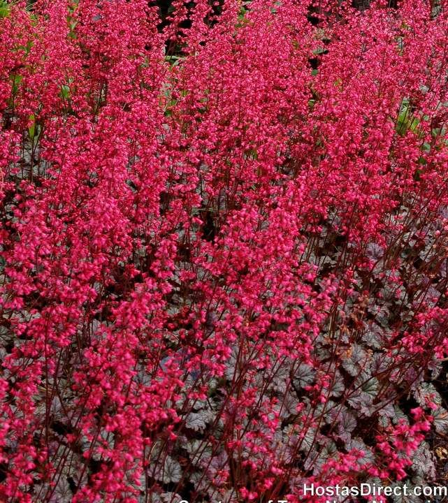 Tuesday's Plant of the Day! Heuchera 'Rave On'! http://ss1.us/a/i1skR4bH