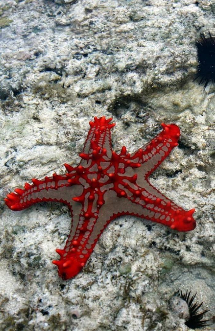 fond marin, étoile de mer rouge, espèces des profondeurs maritimes