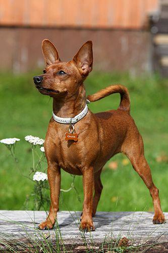chien pinscher miniature - Pesquisa Google