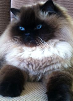 Himalayan cat :)