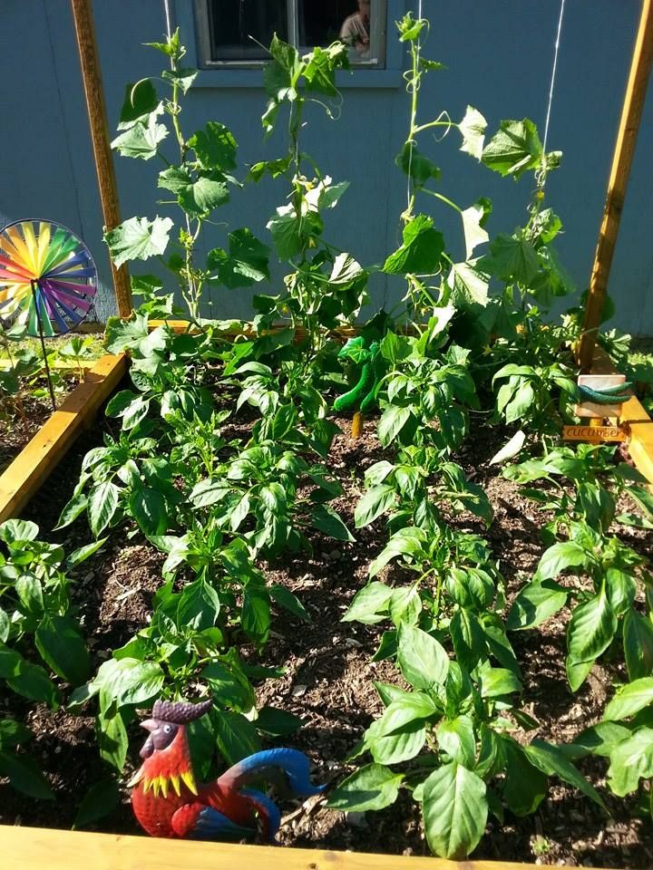 Cukes and peppers on the 21st of June