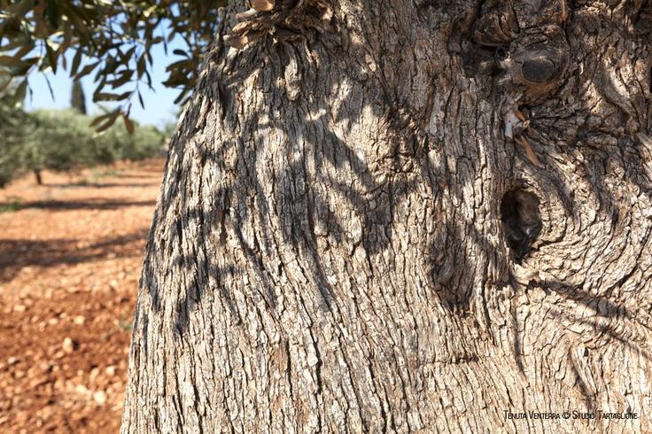 #VENTERRA. Contorto e irregolare, il #tronco #d'#ulivo esprime tutta la sua #energia #segreta. In condizioni climatiche favorevoli un #olivo può #vivere anche #mille #anni
