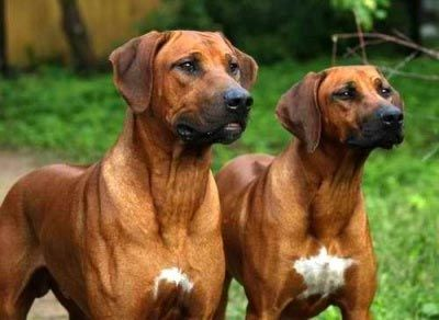 Rhodesian Ridgeback: great adaptability to temps, very few health probs, not good with small kids, love lots of exercise, can't fly in-cabin -3