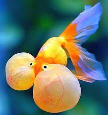 Blue bubble eye goldfish - photo#53