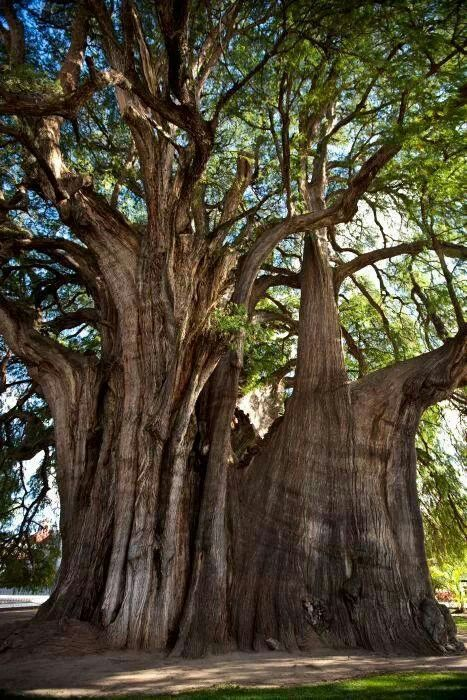 El arbol del tule. (The tree of Tule) Mitla, Oaxaca, Mexico. This is the oldest living thing in the world currently. It is around 2,000 years old and possibly the largest tree as well.