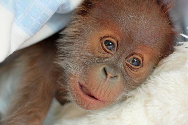 Reike l'orang-outan est né le 12 janvier dernier au sein du zoo de Berlin. Mais le petit a été rejeté par sa mère. Afin de permettre sa survie, les soigneurs du parc zoologique ont dû prendre le relai, le nourrir le biberon et lui apporter un soin constant. Ils ont pourtant tenté, à plusieurs reprises, d'établir un lien entre Reike etDjasinga, sa mère. Pesé le 18 janvier dernier, il pesait à peine 1,8 kilo.Retrouvez Animal Story surFacebook,TwitteretInstagram.RETROUVEZ TOUS NOS CONTENUS…