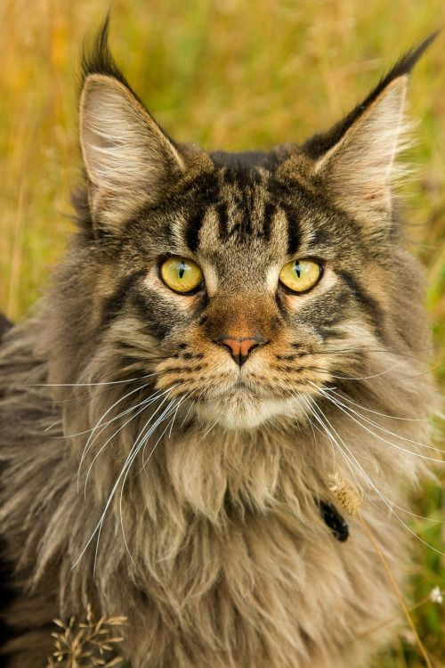 "[Мейн-кун] * * Maine Coon: "" Wif a name likes mine, wut could anyones do but spend allz day in a smalls room wif a loaded cross-bow pointed at de door?"""