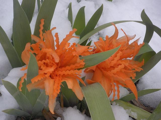 Carrot Tulips