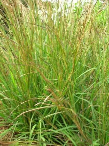 Coast Spear Grass Austrostipa Flavescens