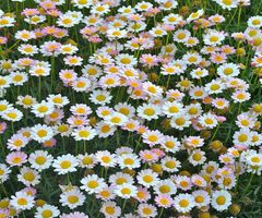 """Their is just """"something"""" about Daisies!"""