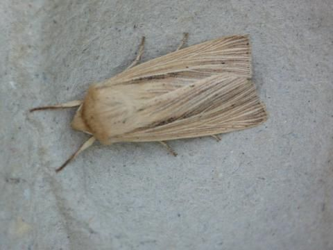 Mythimna comma: the shoulder-striped wainscot | The Nature of Dorset