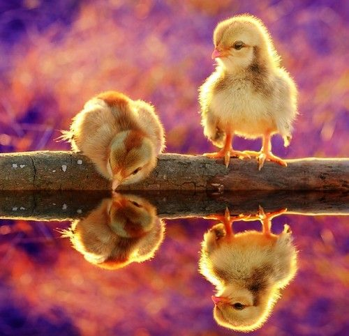 Duckling: Animals, Nature, Beautiful, Reflections, Birds, Photo, Baby Chicks