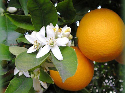 Azahar de naranjo