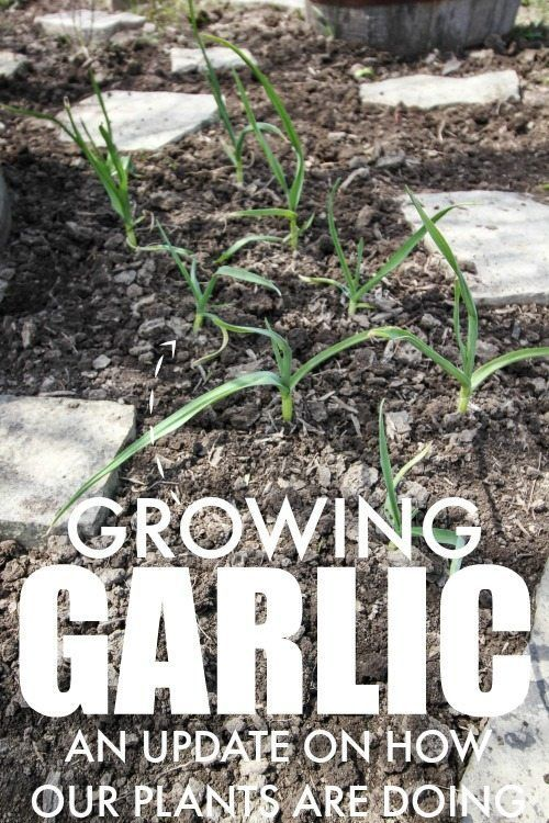 An update on how our garlic is looking that we planted late last fall!