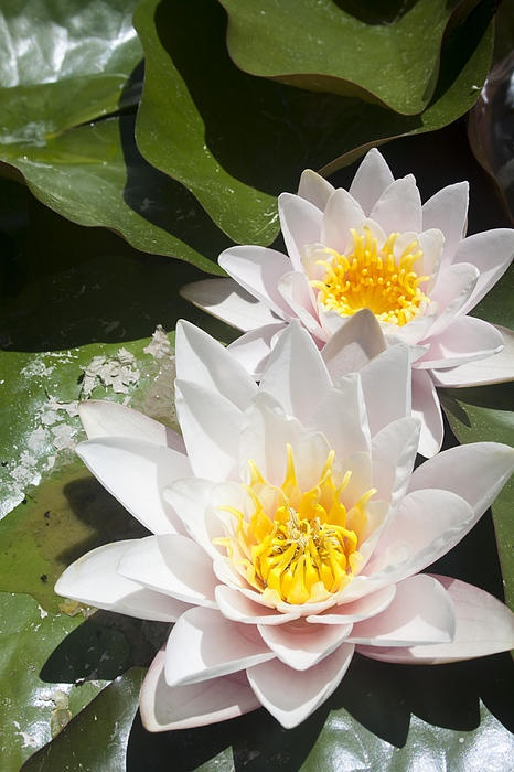 Water Lilies- flower of July