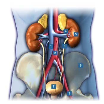 14 best Anatomie Mensch Lernen images on Pinterest | Nursing ...