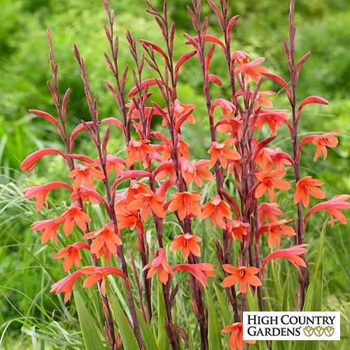 Orange Bugle Lily is a showy South African species that blooms in late spring with tall spikes of orange, hummingbird-attracting flowers. Hardy in zones 8-10, where it may be planted in fall. In colder climates, plant in spring and use it in annual. Watsonia bulbs do well in containers as a showy accent plant.