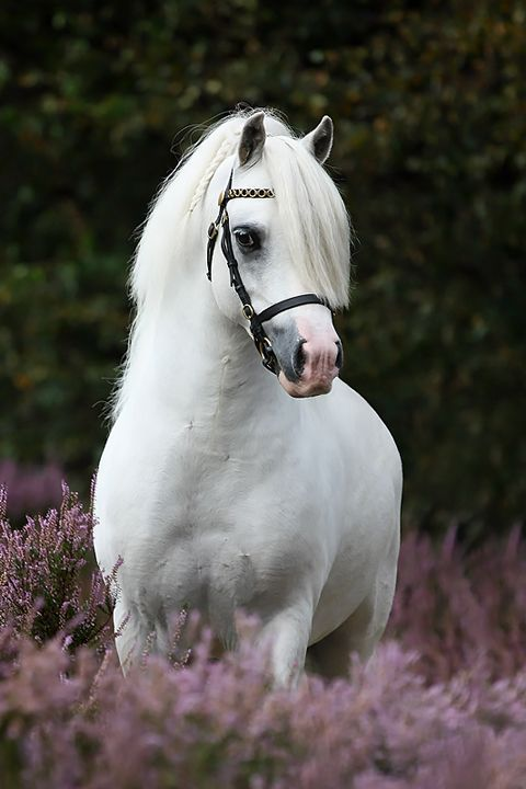 Welshie.When it comes to ponies,you'd have to look hard and long to find more beautiful ponies than Welshies!