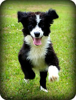 Glastonbury, CT - Border Collie. Meet Maggie~Smart and fun!~, a puppy for adoption. http://www.adoptapet.com/pet/10857859-glastonbury-connecticut-border-collie