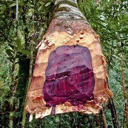 Rosewood Essential Oil 100% Pure 25ml