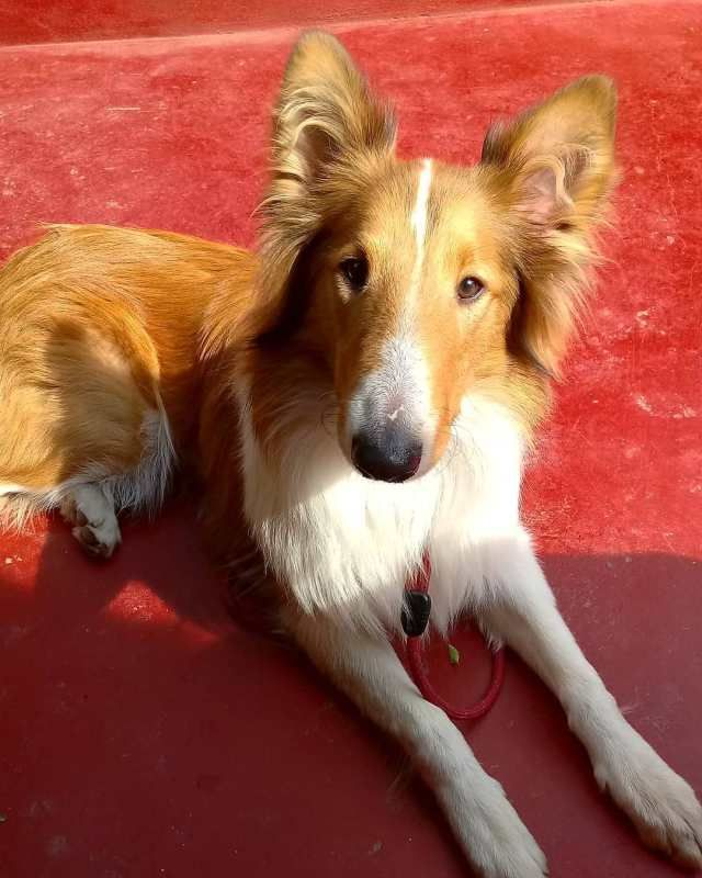 The Cutest Rough Collie Puppy Of The Day 29 Pics Rough Collie