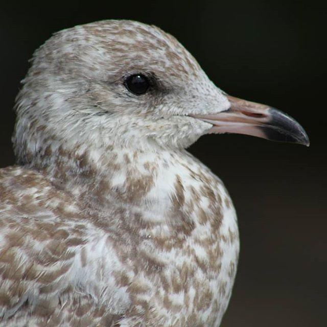 #seagull #instaseagull #naturephotography #wildlife #birdphotography…
