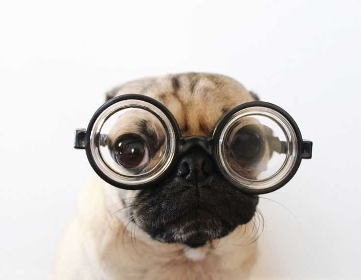 """Are You One of Doug the Pug's 2 Million Fans?"" Doug the Pug with some serious glasses! Image courtesy of @itsdougthepug. www.StyleBlueprint.com"