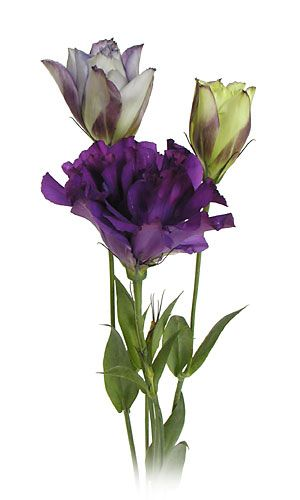 Purple Lisianthus - they come in various tones. I really like the purple/ the smaller buds are typically like this with purple/white tones. very feminine/elegant.