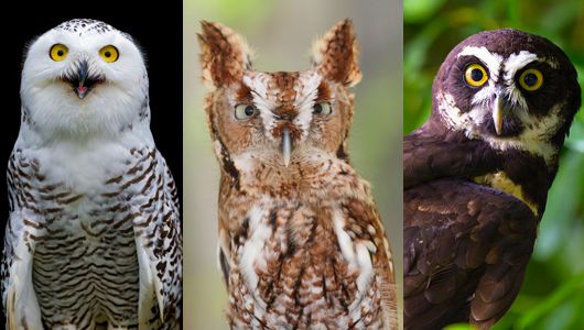 18 owl species with irresistible faces. Owls have some of the most unforgettable faces in the avian kingdom. With their huge eyes and abundant feathers, owls demand our attention. These 18 species in particular have faces with expressions just begging for a caption.