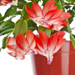 Best 25+ Christmas cactus care ideas on Pinterest | Christmas ...