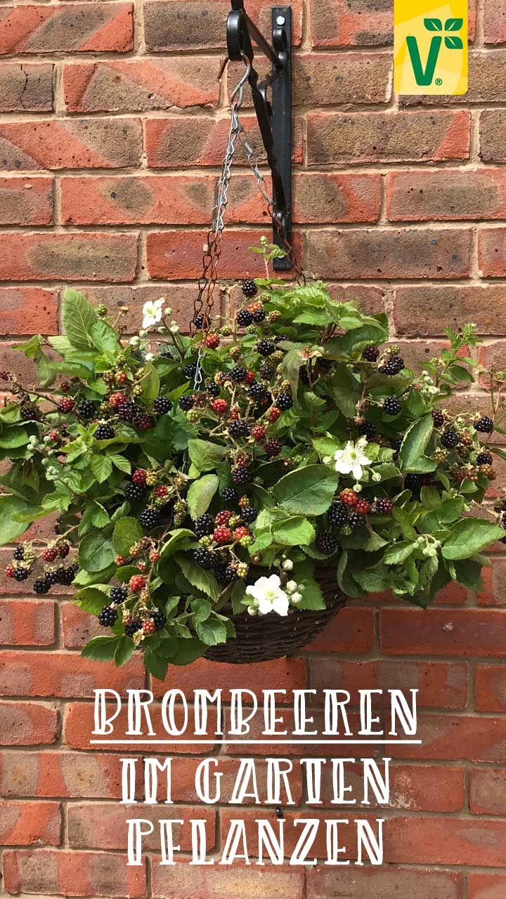 Brombeeren Im Garten Pflanzen Plant Happy In 2020 Garten Pflanzen Pflegeleichte Pflanzen Pflanzen
