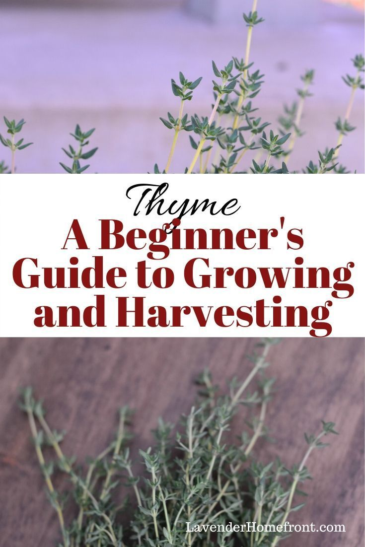 Growing And Harvesting Thyme Thyme Herbs Gardening Tips