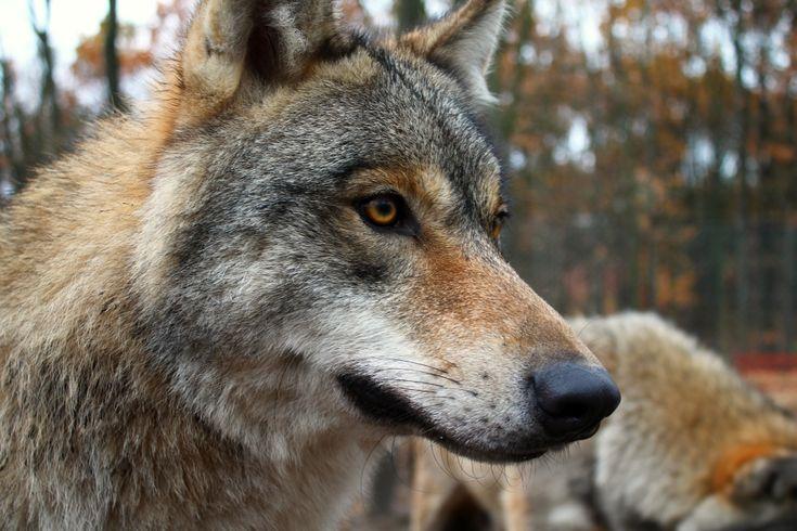 Közeleg a tél, a farkasoknál pedig ez a párkeresési és párzási időszakot jelenti. A falkák között nincs átjárás, és magányos farkas sem létezik – magyarázza Szilágyi István. Minden farkas arra törekszik, hogy falkát építsen. Ez zajlott le nálunk is, az északi területeken. 5-6 évvel ezelőtt átjött egy példány...