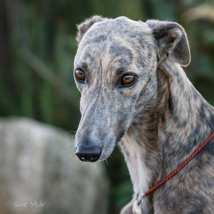wordless wednesday � limited success greyhounds can sit