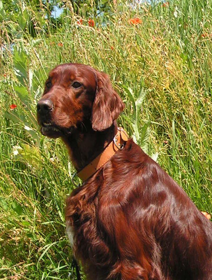 Eddy Irish Setter Pup Classic Look