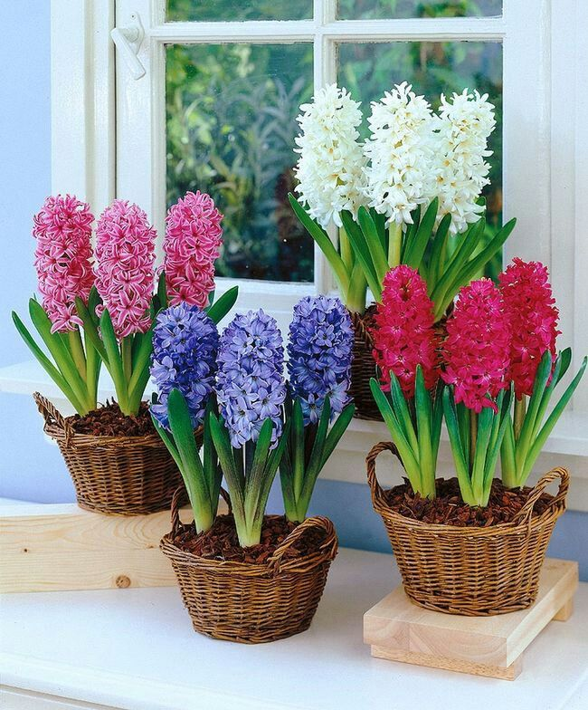 not Bulbs 100pcs Bonsai Hyacinth Flower Beautiful Perennial Indoor Flowering Potted Plants For Home Garden Planting
