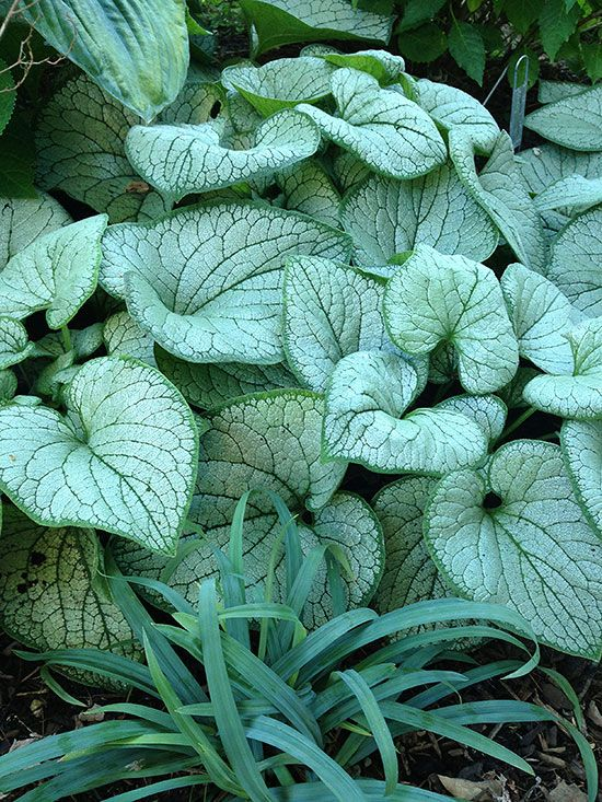 35 best images about 2015 perennials on pinterest indigo for New garden plants