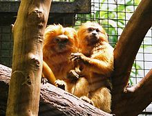 Golden Lion Tamarin (small New World Monkey)