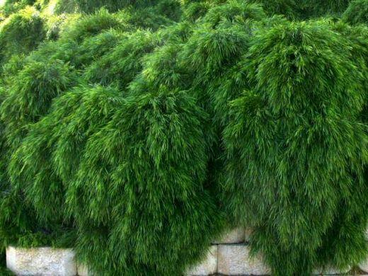 Mini Cog (Acacia Cognata var.): Dwarf wattle bush.