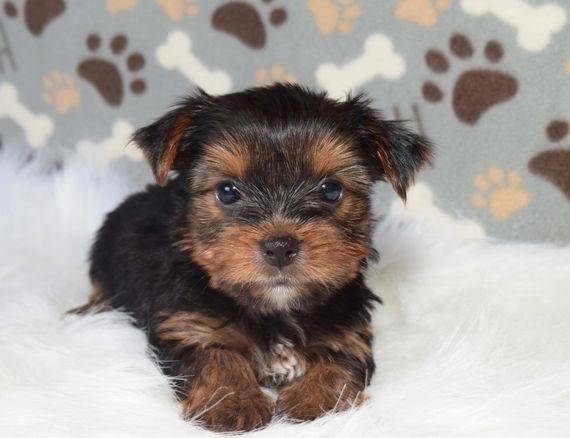Jack Yorkshire Terrier Puppy Puppyspot Yorkshire Terrier