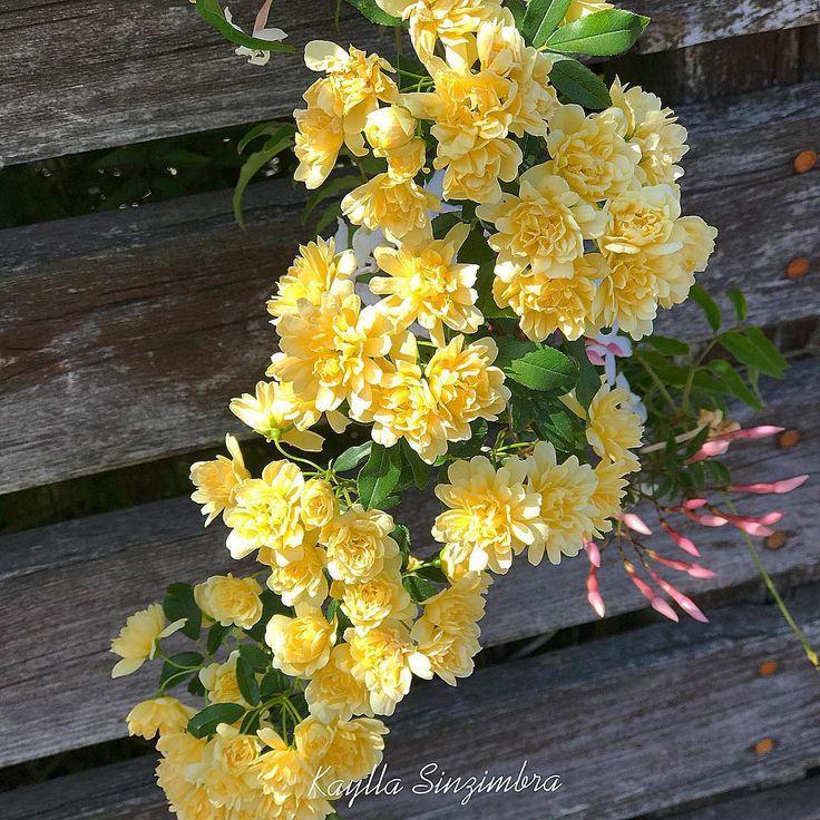 Flower of the day! #japan #japão #aichi #takahama #fiori #fleur #flores #flower #flowers #instapic #instagram #instaphoto #instanature #instaflower #flowerporn #flowergram #floweroftheday #flowersturk #flowerstalking #flowerstagram #flowerslovers #roses #yellowflowers http://gelinshop.com/ipost/1522219529072346222/?code=BUgApi8hQRu