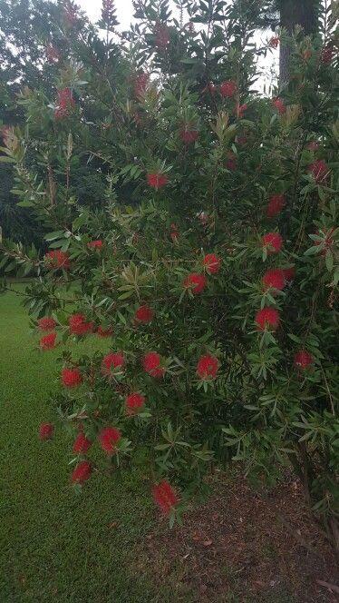 Purple Hibiscus Backyard Snob :  Garden on Pinterest  Hibiscus, Elephant ears and Purple roses