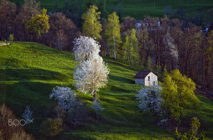 Cherry blossoms - Hilly landscape with cherry blossoms, resumed at dawn.
