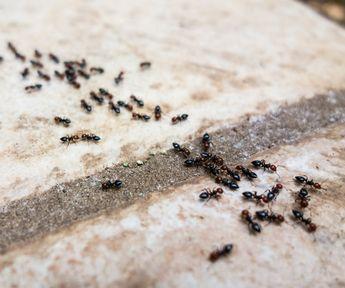 Fancy Ameisen im Haus bek mpfen so geht es richtig